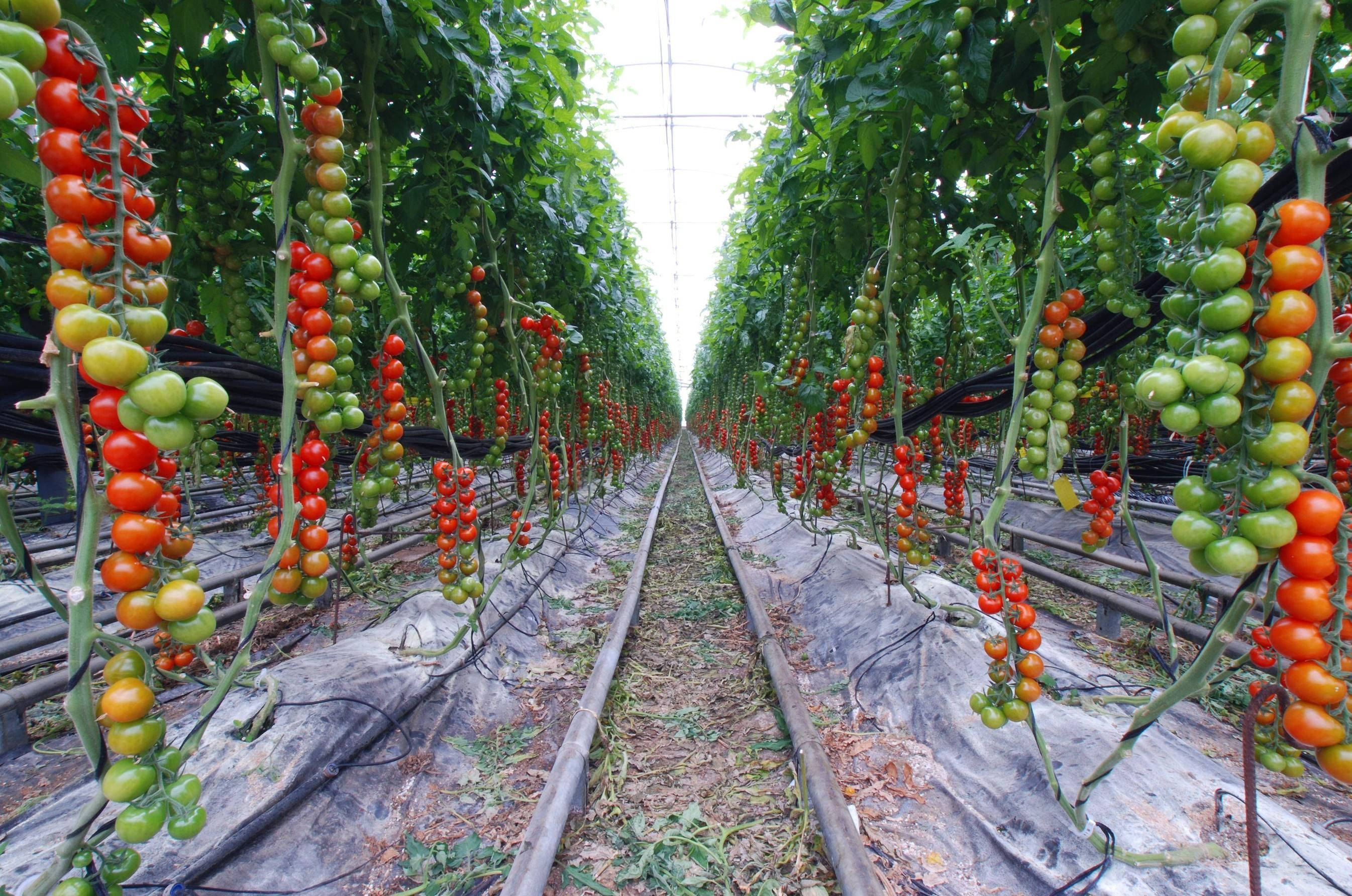 Tomatoes On A Farm How Can I Do This At Home Tomaten Garten
