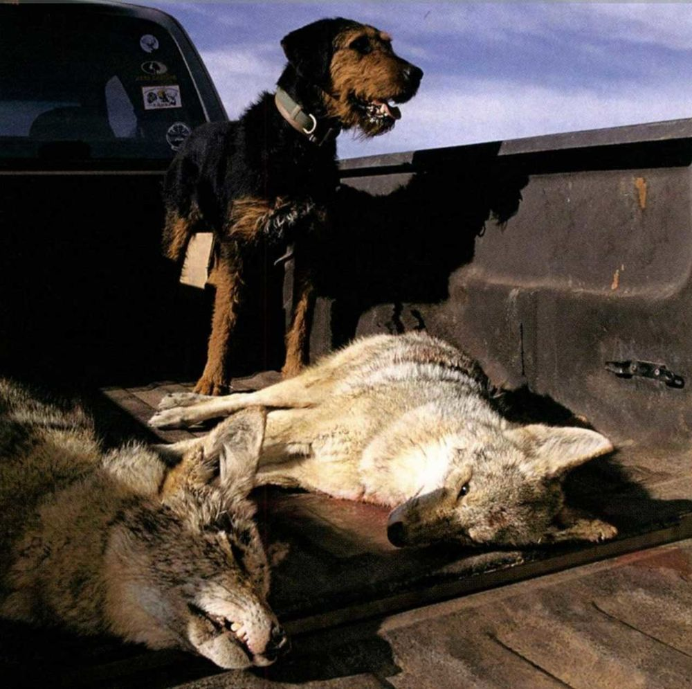 Coyote Hunting Dog Coyote Hunting Hunting Dogs Coyote