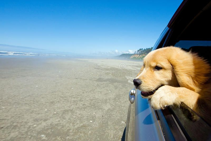 Dog in a car window. A Golden Retriever Puppy dog looking