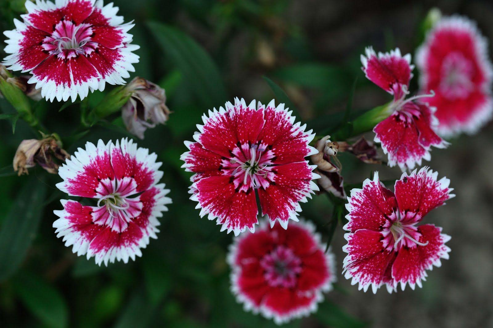 Gbb 2543 Jpg Image Sweet William Dianthus Barbatus Flowers