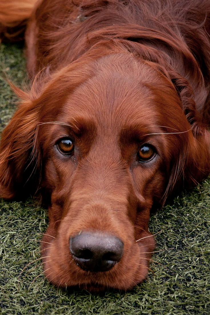 d833f2da583 Beautiful Irish Setter - we could just fall into those eyes! | Dogs ...