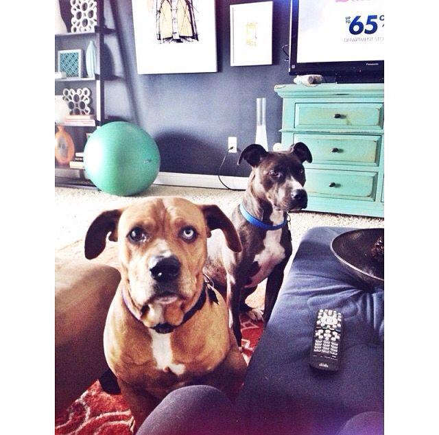My friends beautiful pit bulls #pitbulls