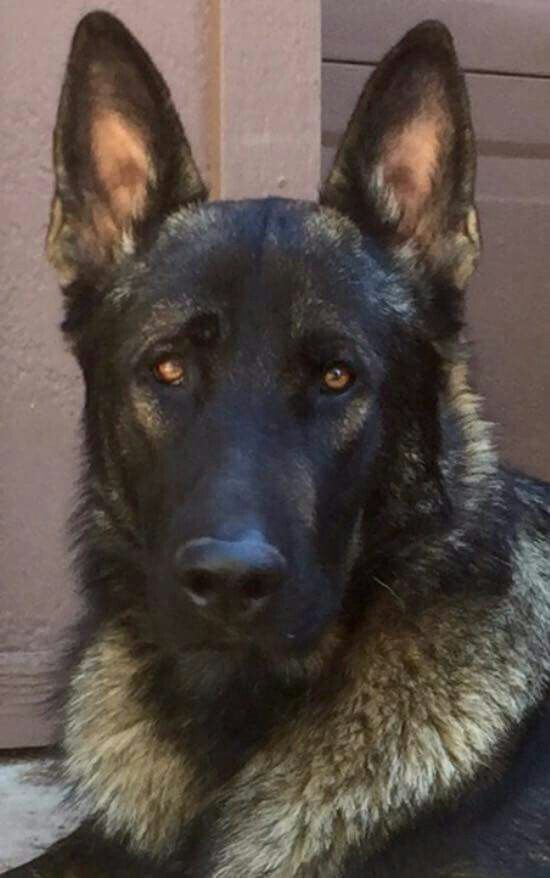 Ayers Legends German Shepherds Kino X Large Sable Male 12 Months