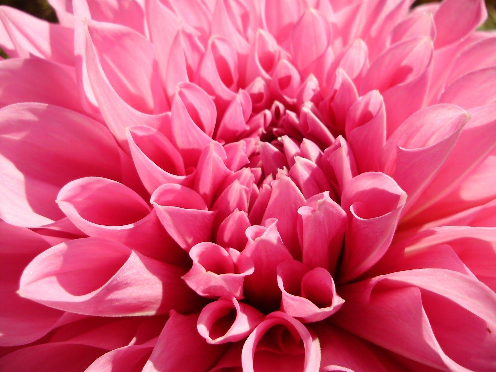 Spring Flowers Background Pink DahliaSpring Flower