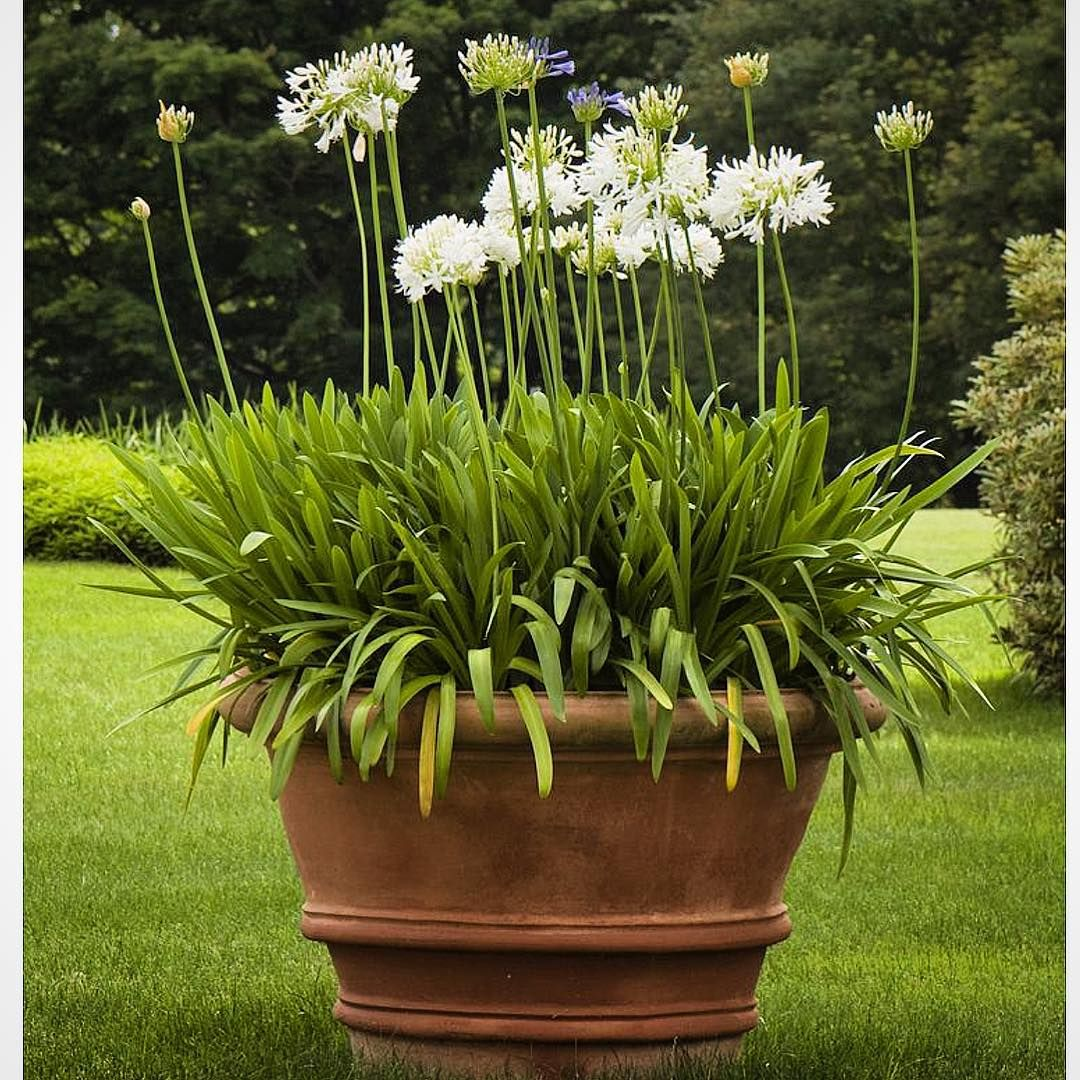 Agapanthus Are Perfect For Planting In Large Terracotta Pots Their Evergreen Strappy Leaves Look Good All Year And Their Summer Flowers Are Garden Inspiration Dream Garden Plants