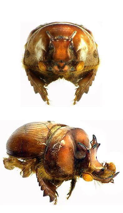 Bolboceras capreolus