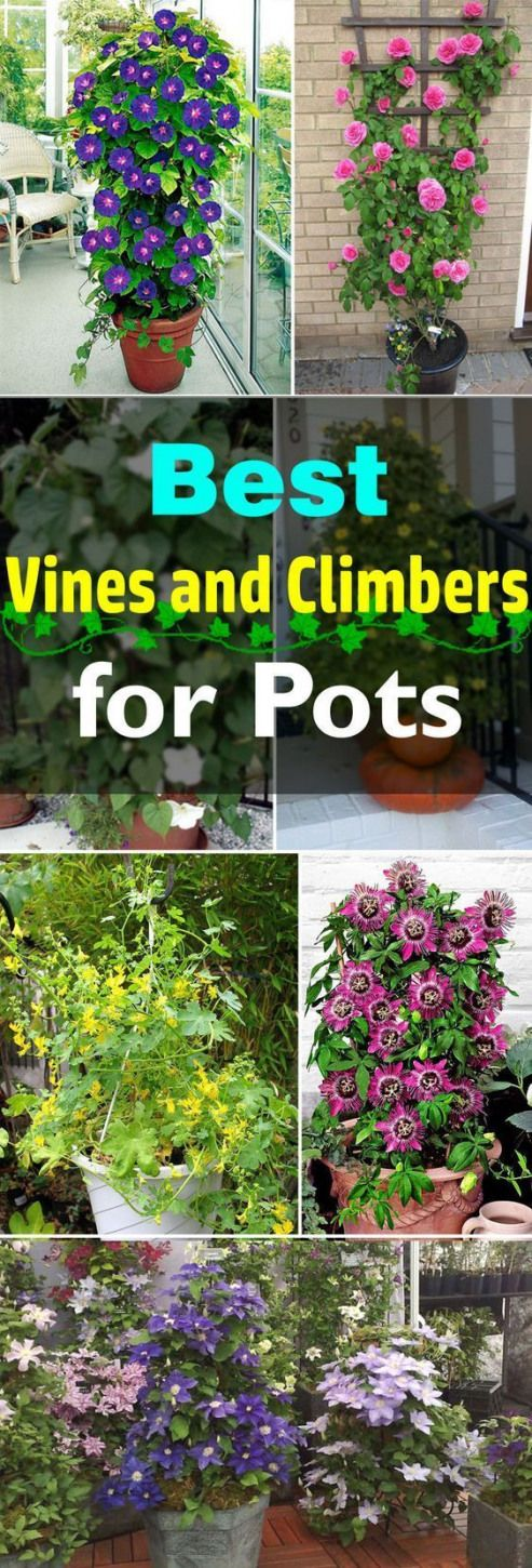 Add a vertical touch in your container garden by growing climbing plants for containers. Must see these 24 best vines for pots. #flowers #flowers #garden #flowerpot