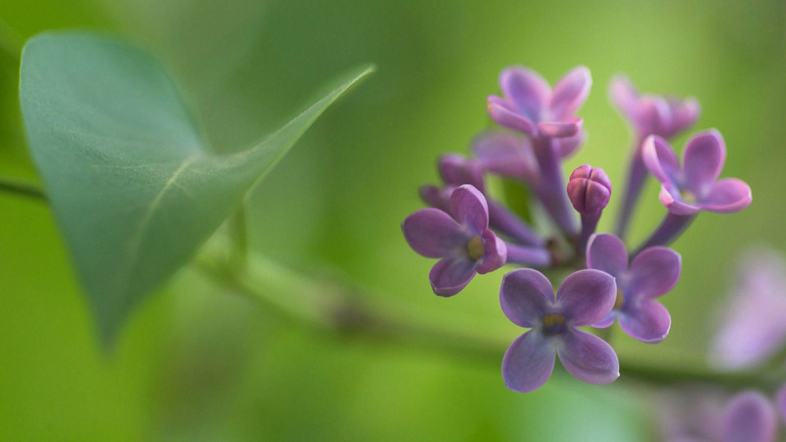 Flower: VIOLAS Flowers Purple Blue Green Flower Wallpaper For ...