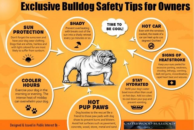 Must Read Safety Tips For Bulldog Owners English Bulldog Care