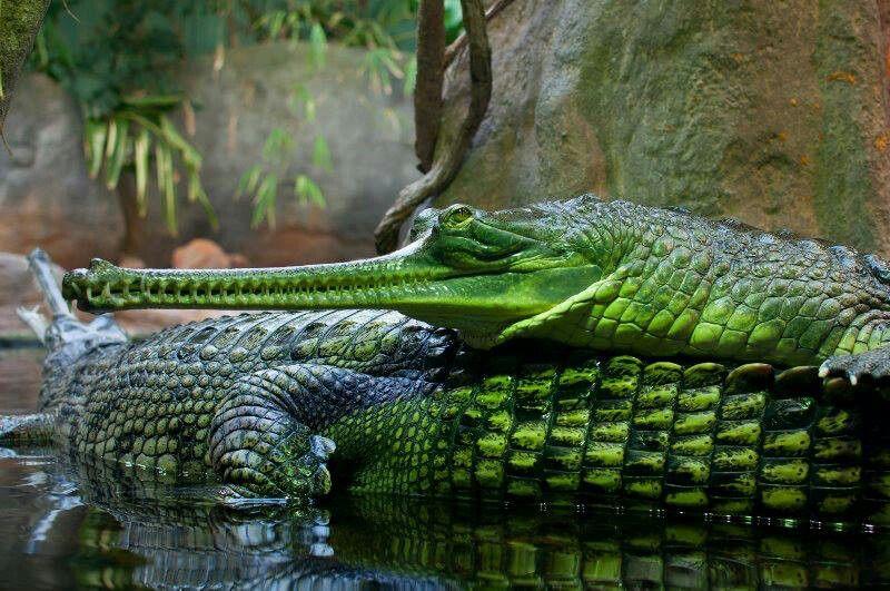 Indian gharials Gharial, Crocodile species, Weird animals