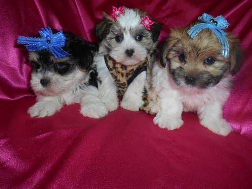 Morkies Boy Girl Maltese Yorkie Designer Mix Quality Pups Yorkie Morkie Furry Friend