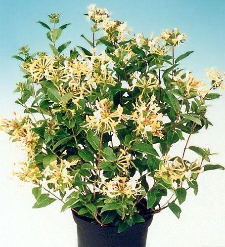"""Honey Baby Honeysuckle Bush - New Hybrid! - Lonicera - 2.5"""" Pot"""
