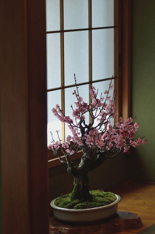 Untitled Flowering Bonsai Tree Bonsai Plants Cherry Blossom Tree