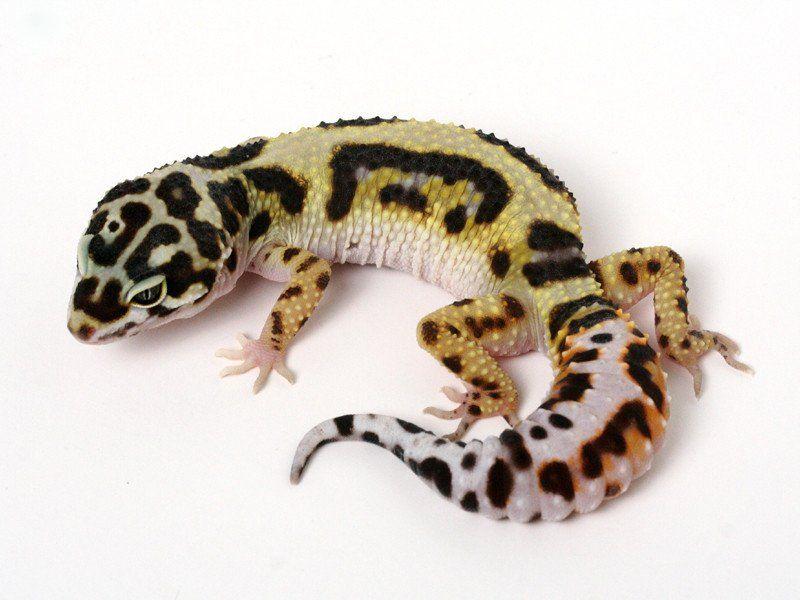 Halloween Mask Leopard Gecko.Extreme Halloween Pure Halloween Mask Leopard Gecko 0060514b