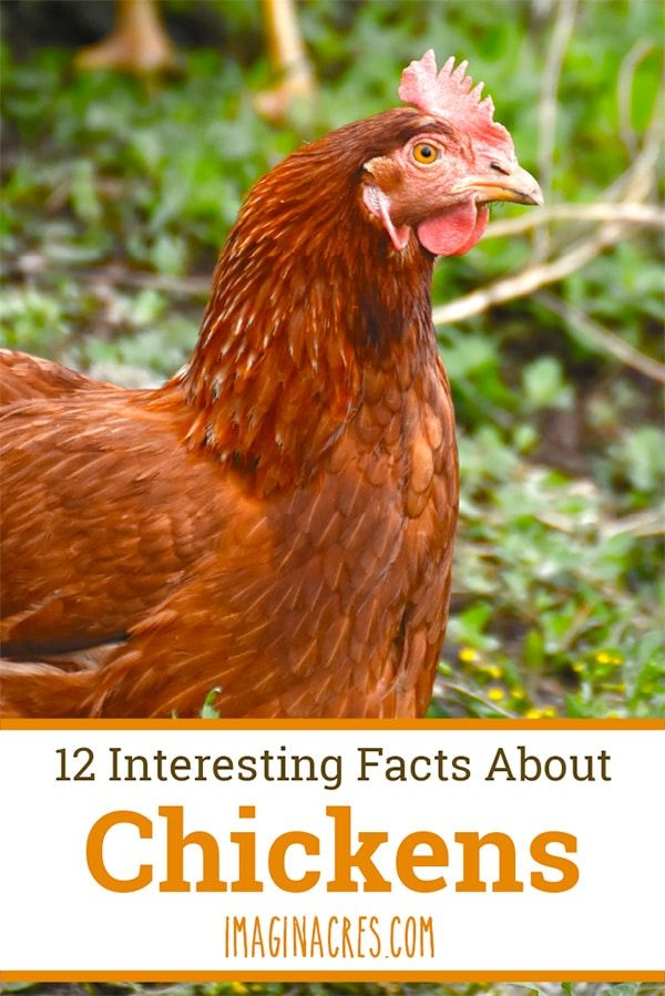 A Dozen Weird Things About Chickens Chicken facts