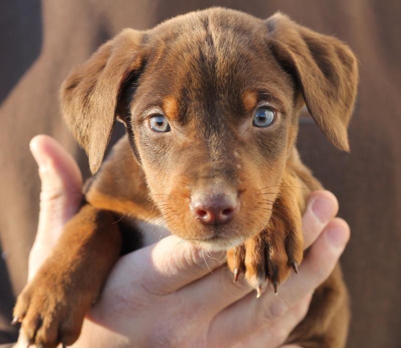 Adopt Comet On Bernese Mountain Dog Mix Dog Mixes I Love Dogs