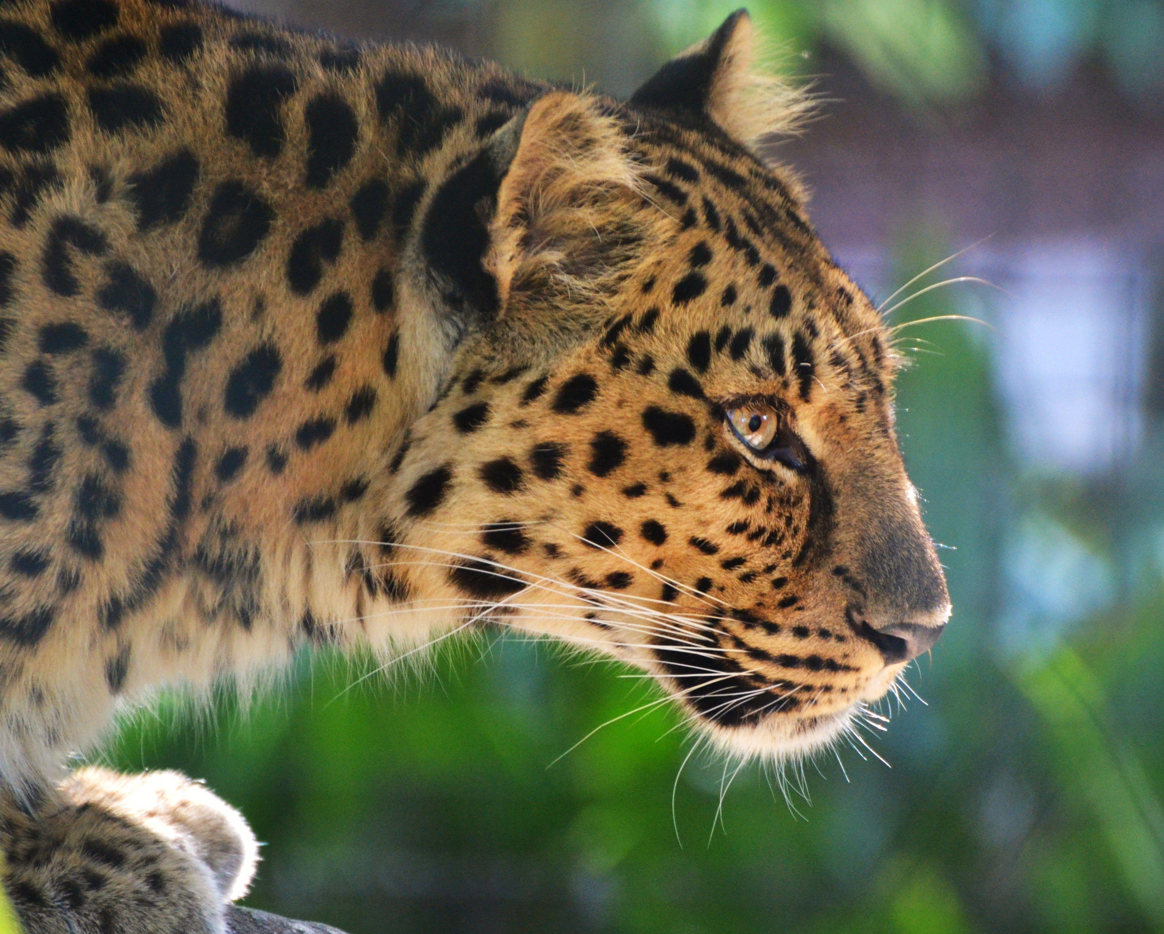 Snow leopard face side - photo#47