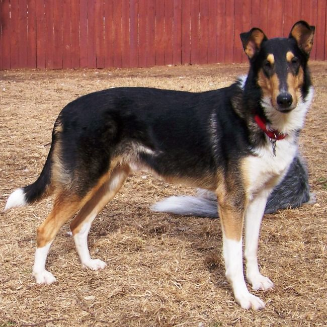 Tri Color Smooth Collie So Handsome Beautiful Dogs Pet Dogs