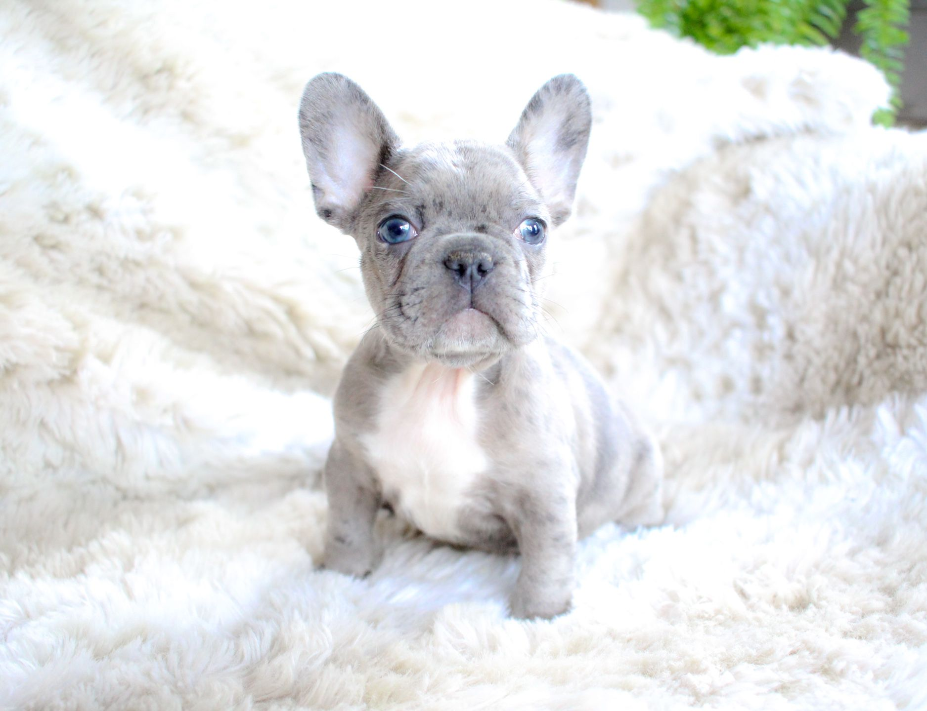 French Bulldog Puppies For Sale Baby Animals Funny French