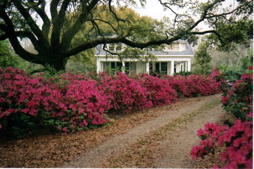 Azaleas Google Images Backyard Water Feature Front Yard Flowers Outdoor Gardens