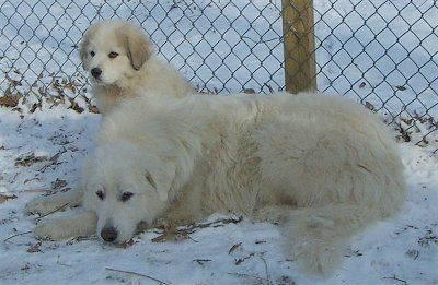 Great Pyrenees Shed Heavily Once A Year But Otherwise Their