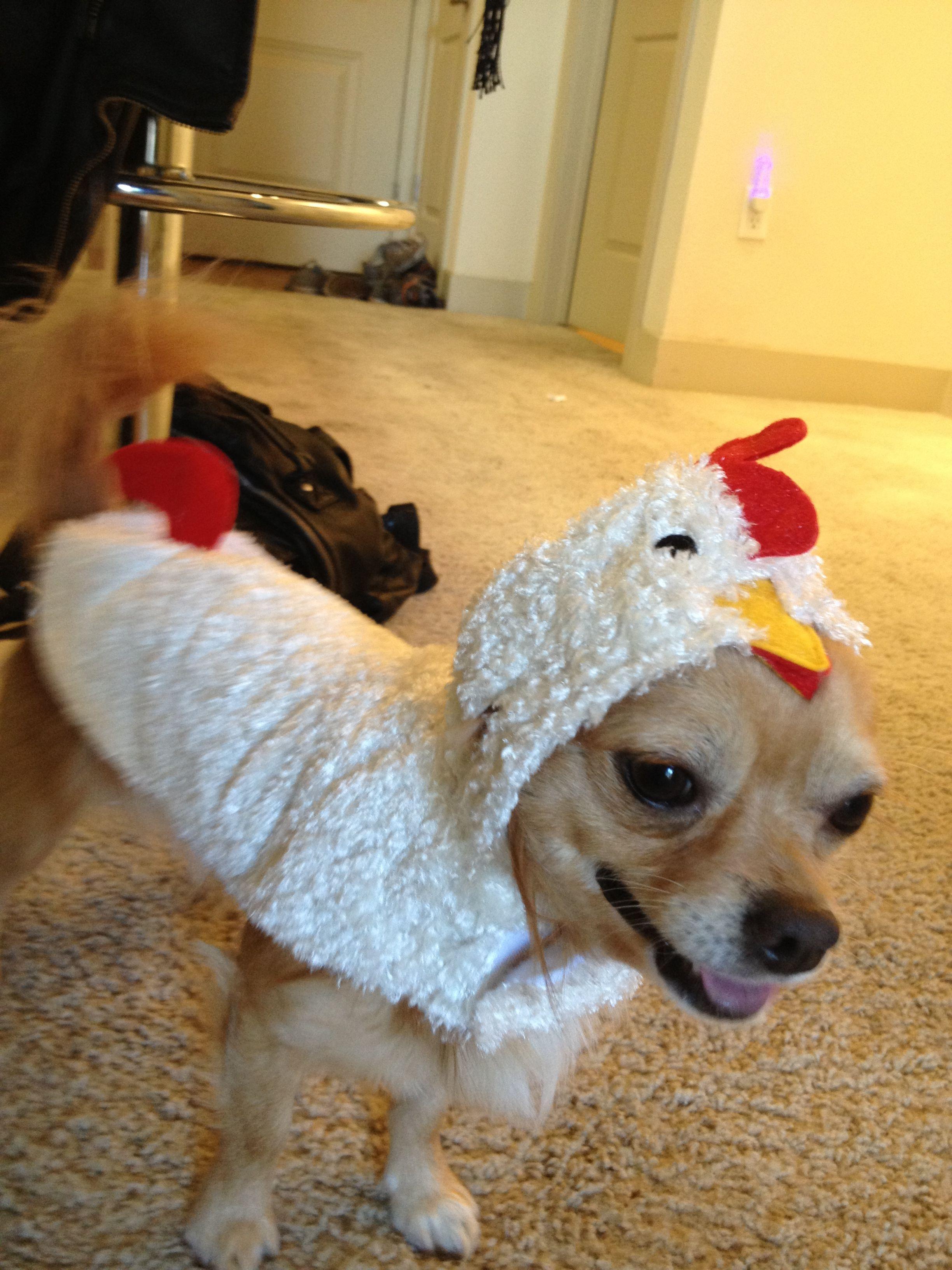 Chihuahua chicken costume | Mine | Pinterest | Chicken ...
