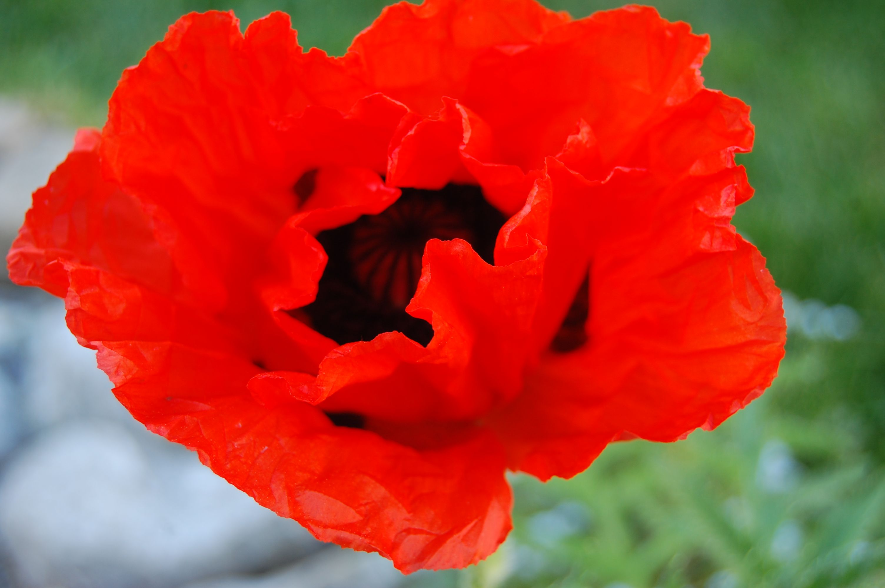 Orange Poppy Flower Interiors Plus Gardens Pinterest Orange Poppy