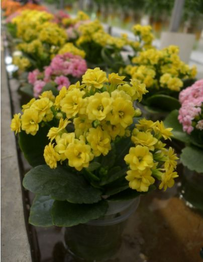 Kalanchoe blossfeldiana yellow flower means wish water and flower kalanchoe blossfeldiana yellow flower means wish mightylinksfo Images