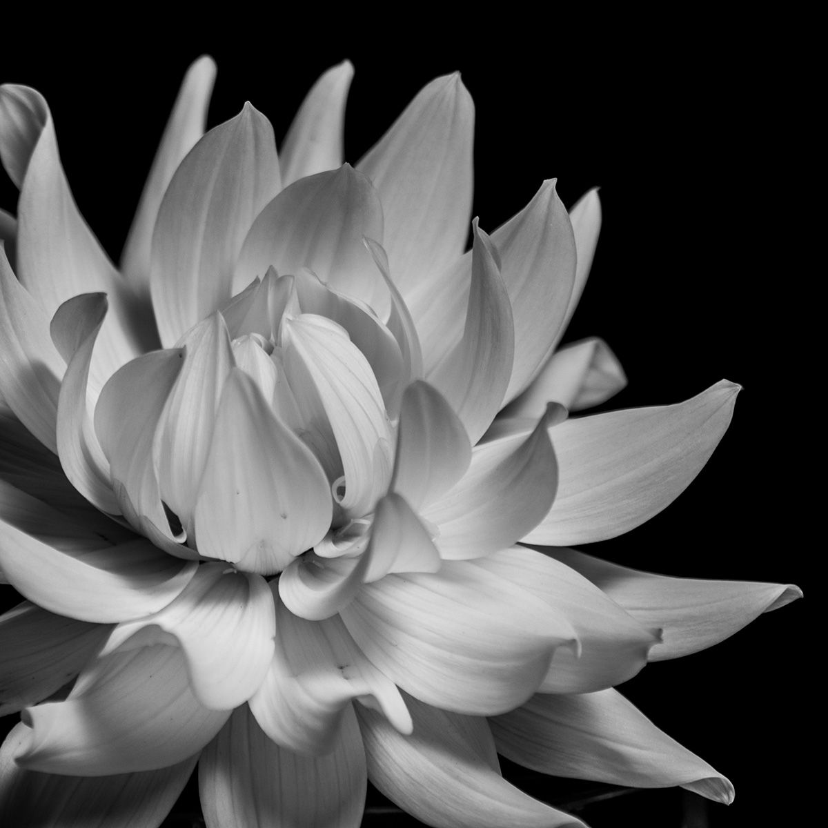 Flower - Black and White - Photo: Tim Münnig
