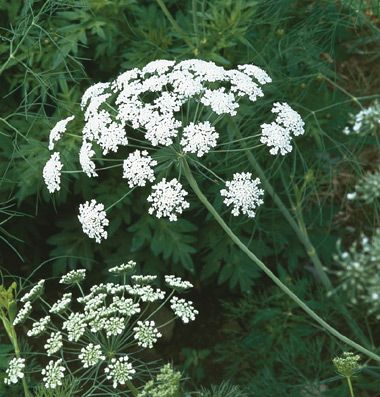White Dill A Must for cut flower bouquets! A Great filler.