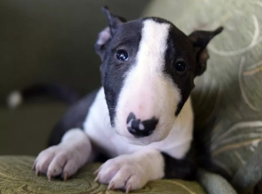 Top 100 Female English Bull Terrier Puppy Names The Paws American Bulldog X English Bull T In 2020 English Bull Terrier Puppy Bull Terrier Puppy English Bull Terriers