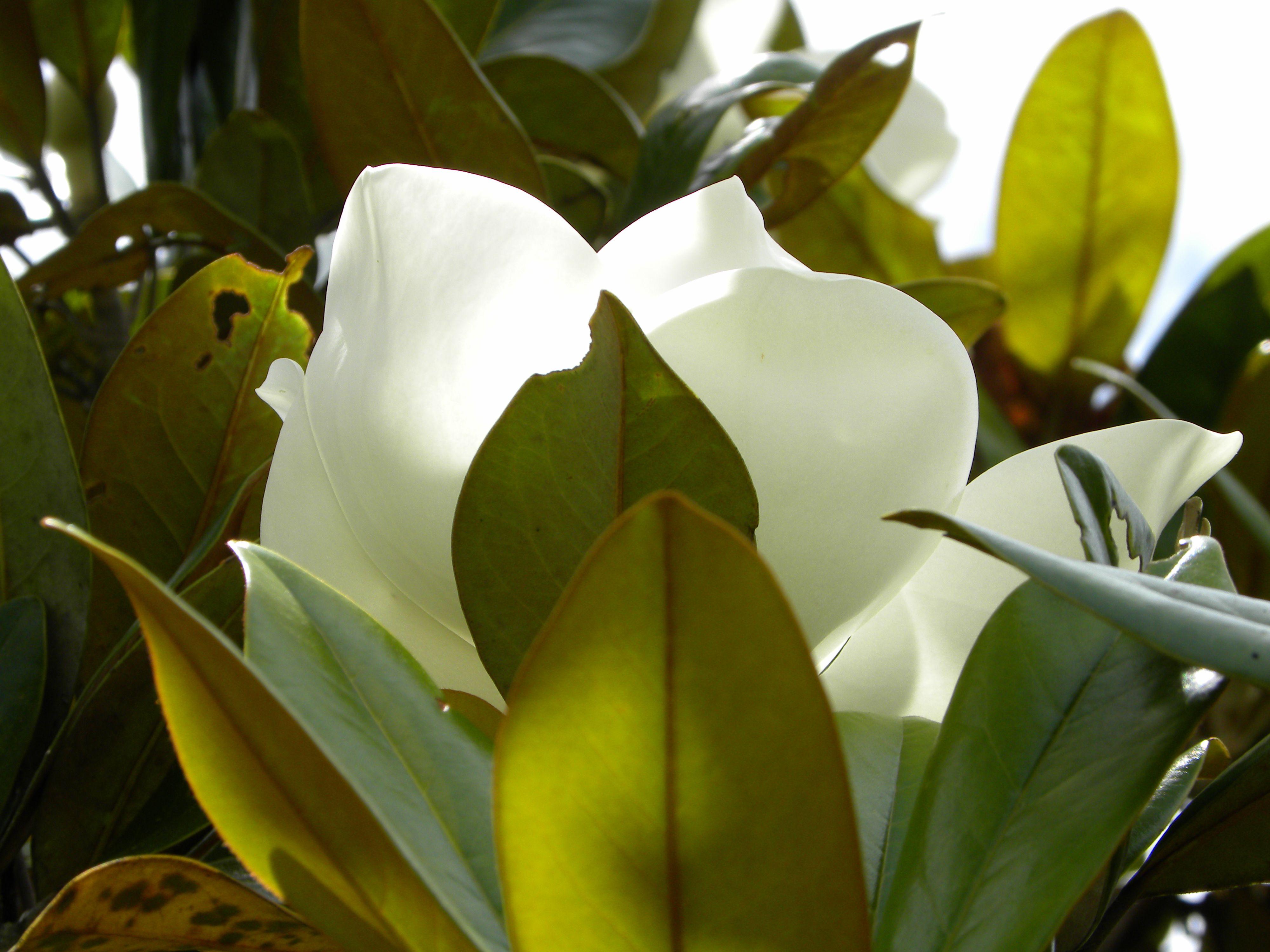 Magnolia: flor blanca grande muy bonita que crece en el arbol del magnolio