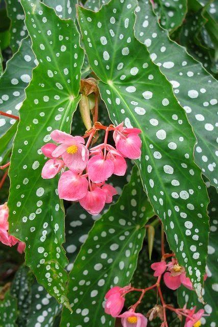 Cvece Za Baste Dvoriste Sobe Begonija Begonia Semperflorens Gajenje Gomo Bonsai Flower Plants Planting Flowers