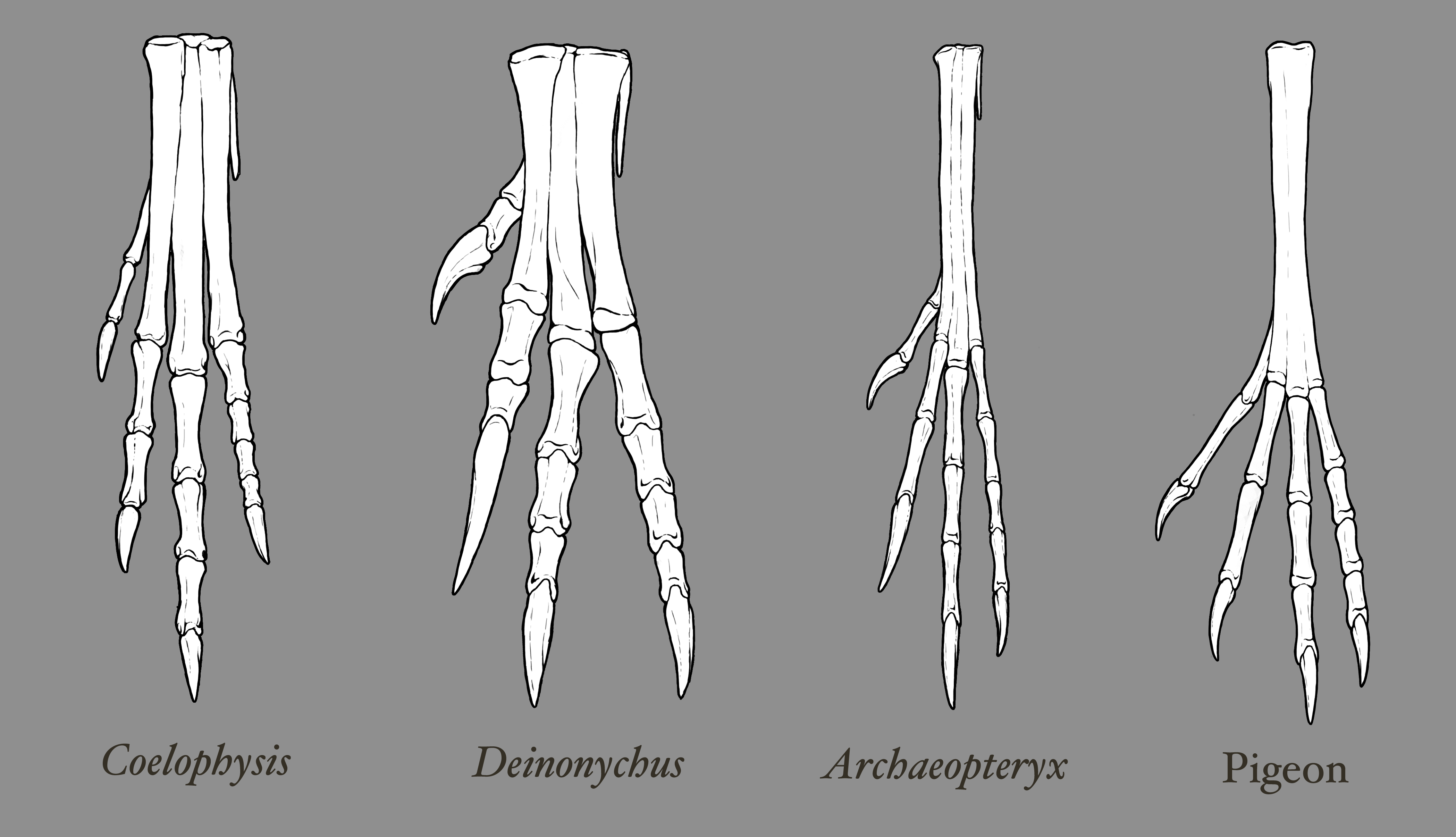 theropod-foot-comparison.png (4195×2411) | Dinosaurs and pterosaurs ...