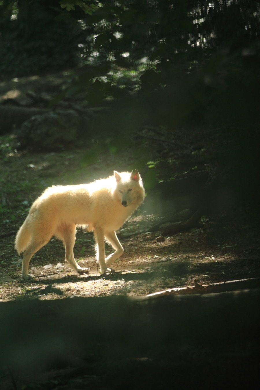 Them it is not i who resides in darkness me until of course what a beautiful moment caught in the sun white wolf strolling in the woods buycottarizona