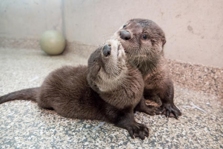 Pin by jackie may on otters otter pup otters river otter
