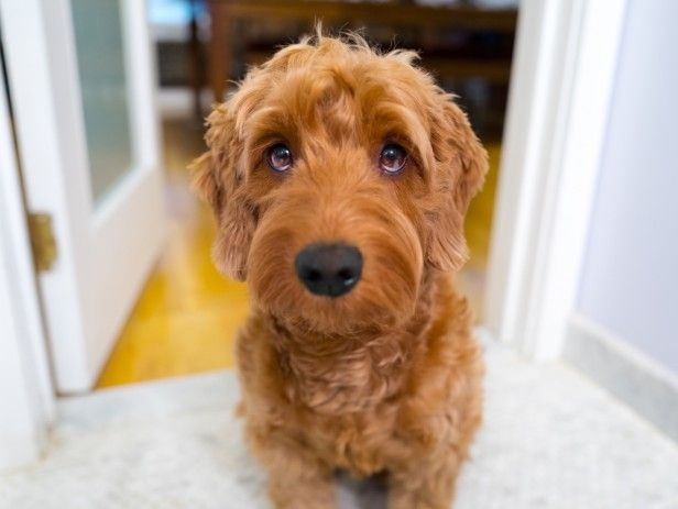Hypoallergenic Dog Breeds That Don T Shed Too Much A Guide To Elevated Apartment Living