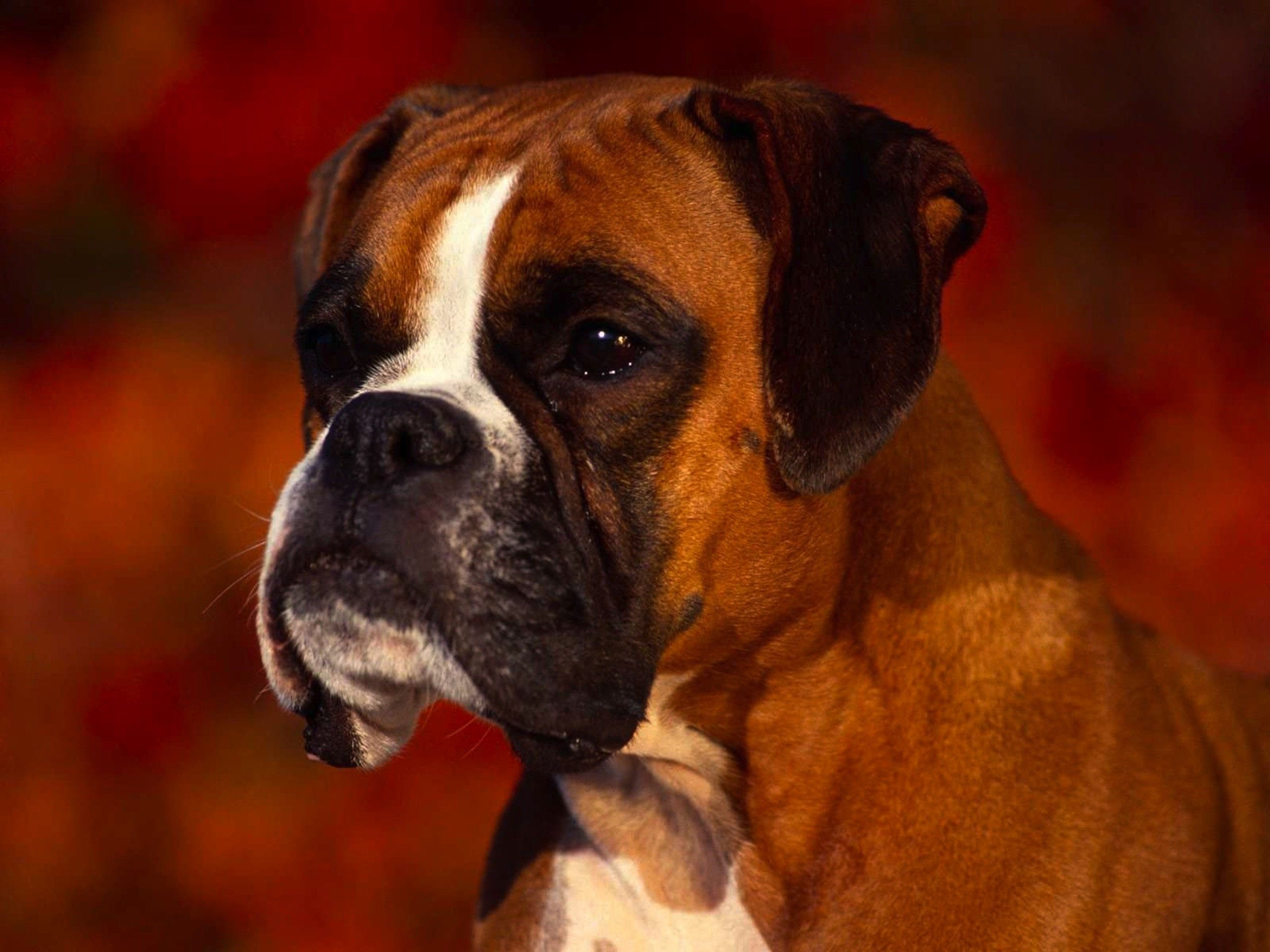 Animals Boxer Dog Dogs Wallpaper Boxer Dogs Boxer Dog Pictures Beautiful Dogs