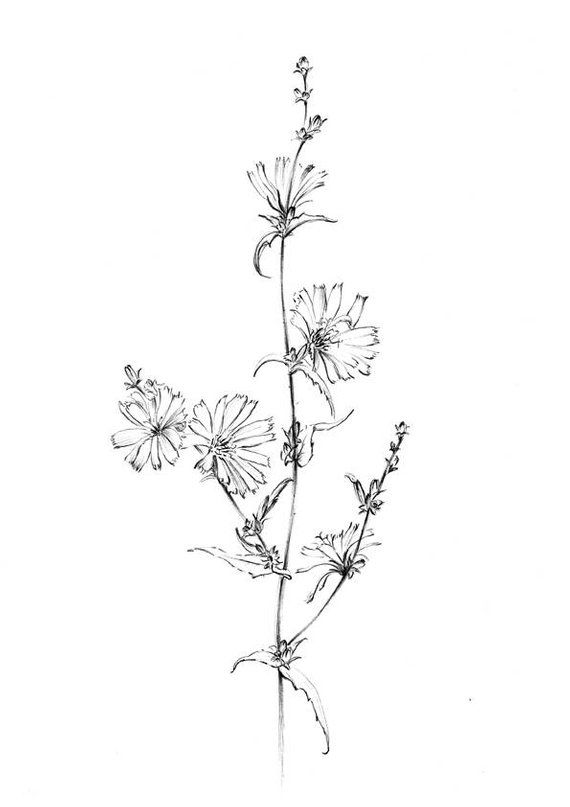 Chicory Sketch Blue Sailors Wild Flower Clipart Line Drawing