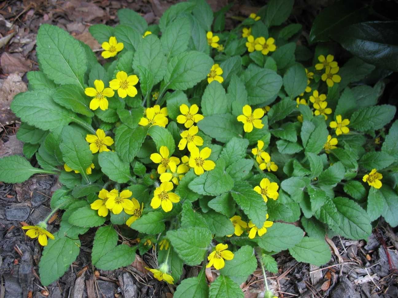 Tiarella cordifolia a way to garden - Chrysogonum Virginianum Green And Gold