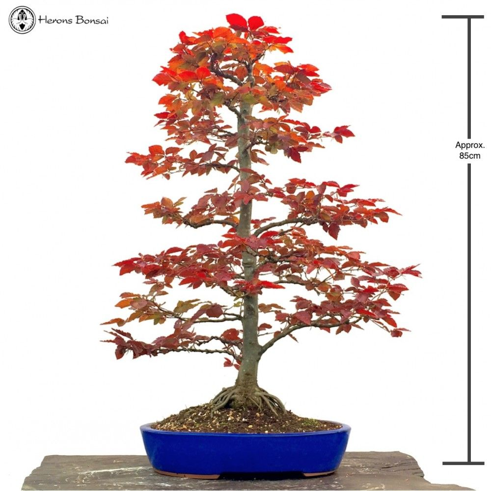 Copper Beech Tall Sold Outdoor Bonsai Tree Bonsai Trees For Sale Copper Beech