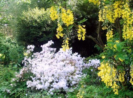 AZALEA blanca-enredad. amarilla