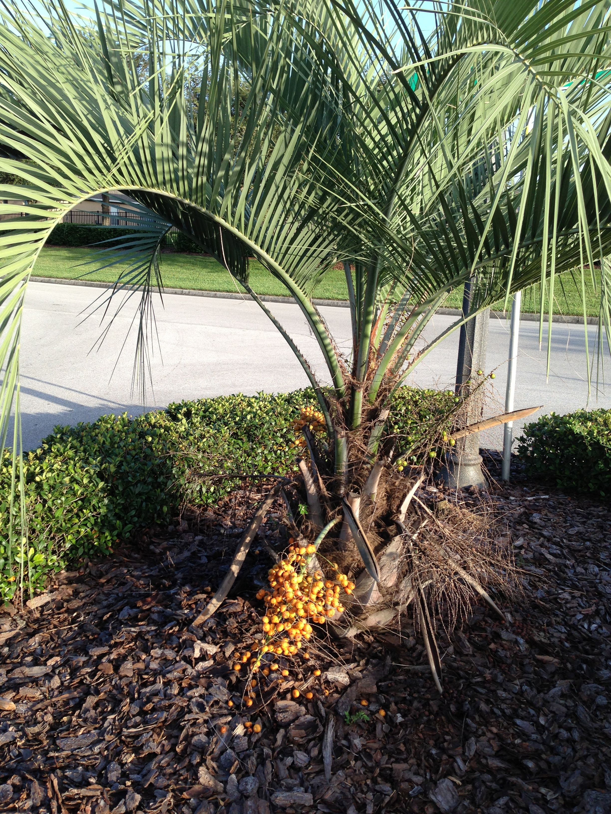 Pindo Palm Tree | Gardening | Pinterest | Palm, Soil type and Gardens