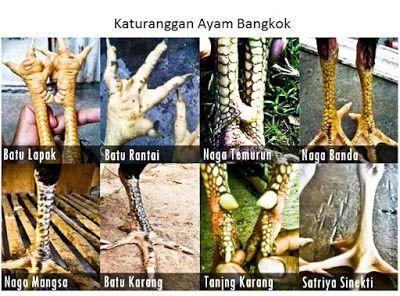 Pin Di Ayam Bangkok Aduan