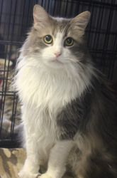 Adopt Sunshine On Petfinder Grey And White Cat Long Haired Cats Pet People