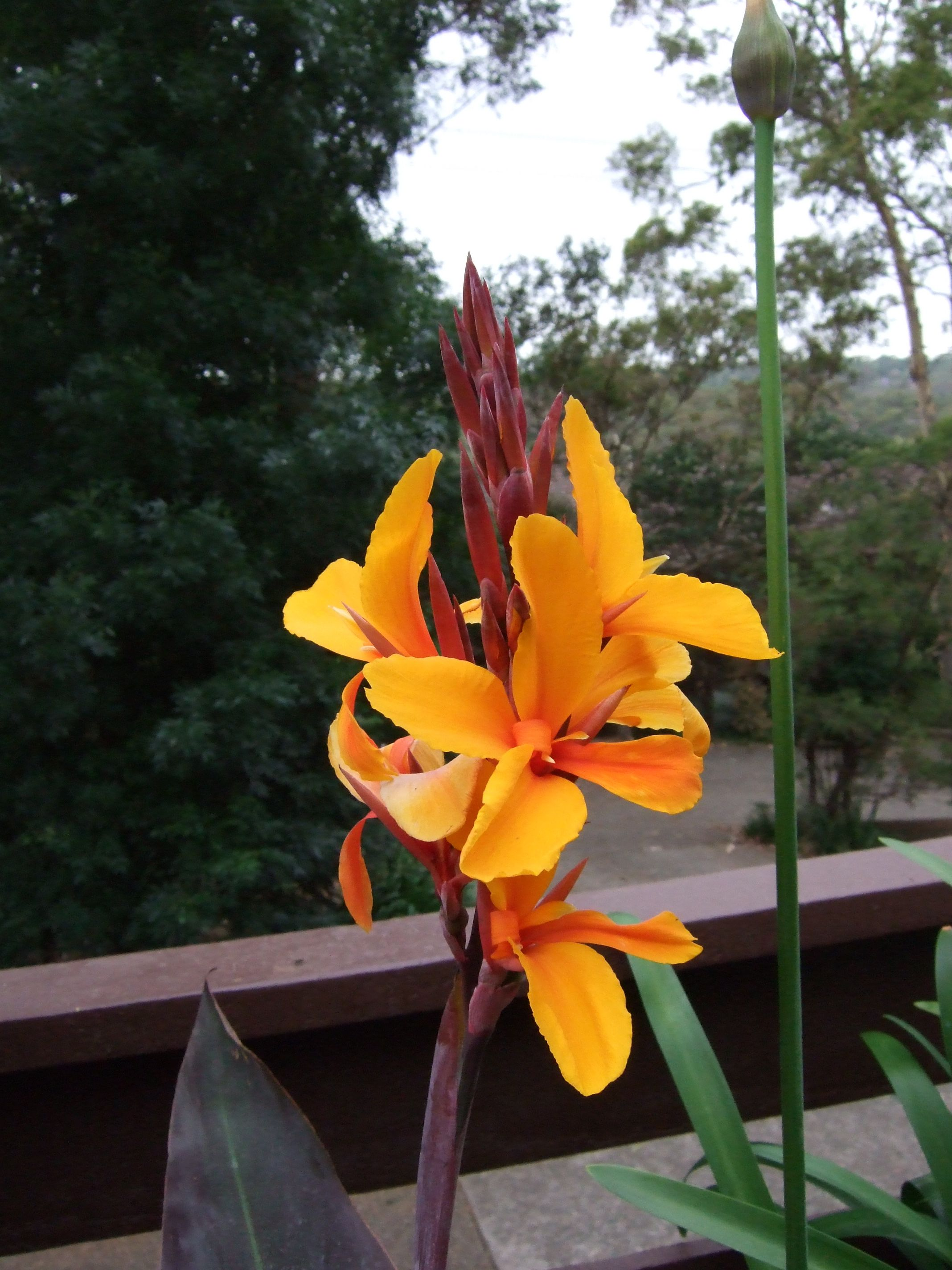 Canna Lily Smaphore Aka Pacific Beauty Flower Canna Lily