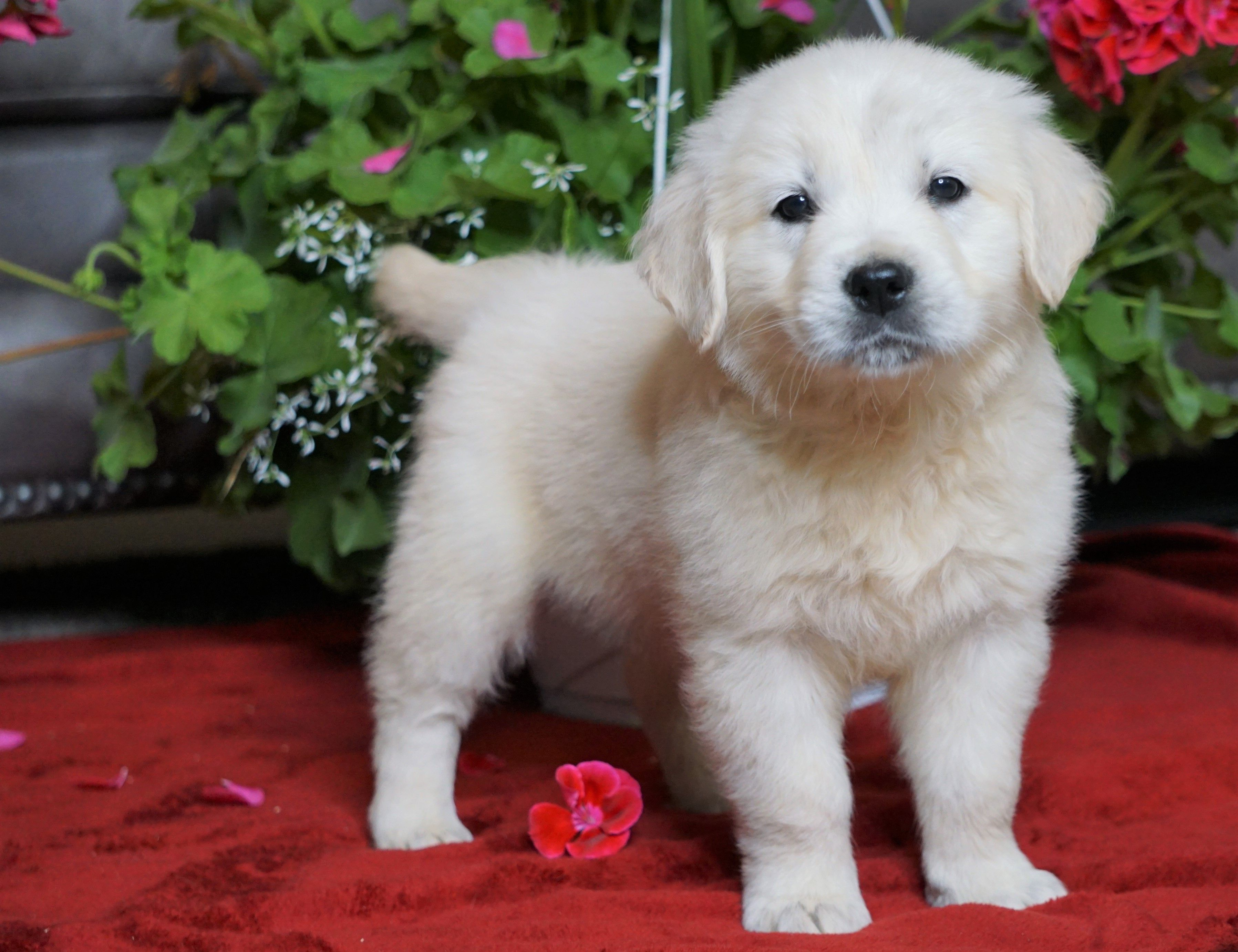 Puppies for Sale Golden puppies, Lancaster puppies, Puppies
