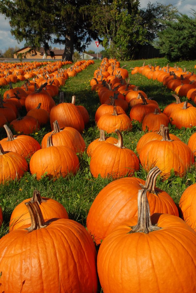 Pumpkins Iphone wallpaper fall, Autumn aesthetic