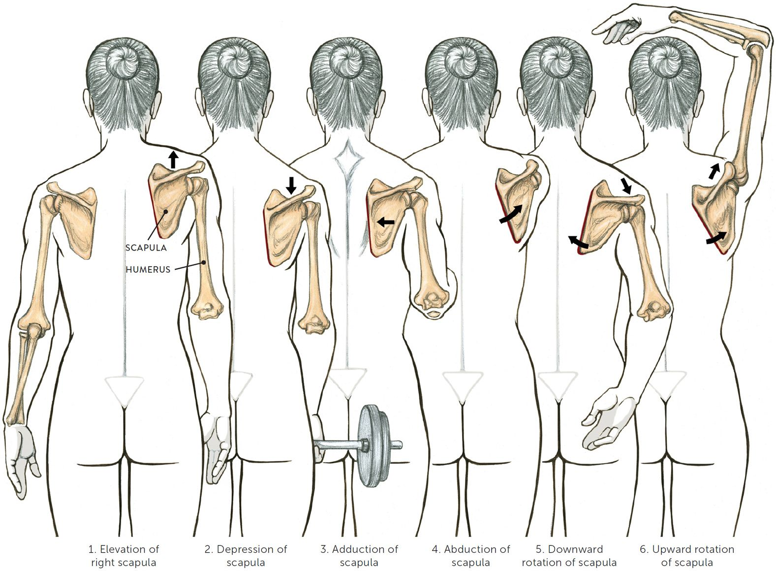 Image result for elevation of scapula | Anatomy: Upper Body ...