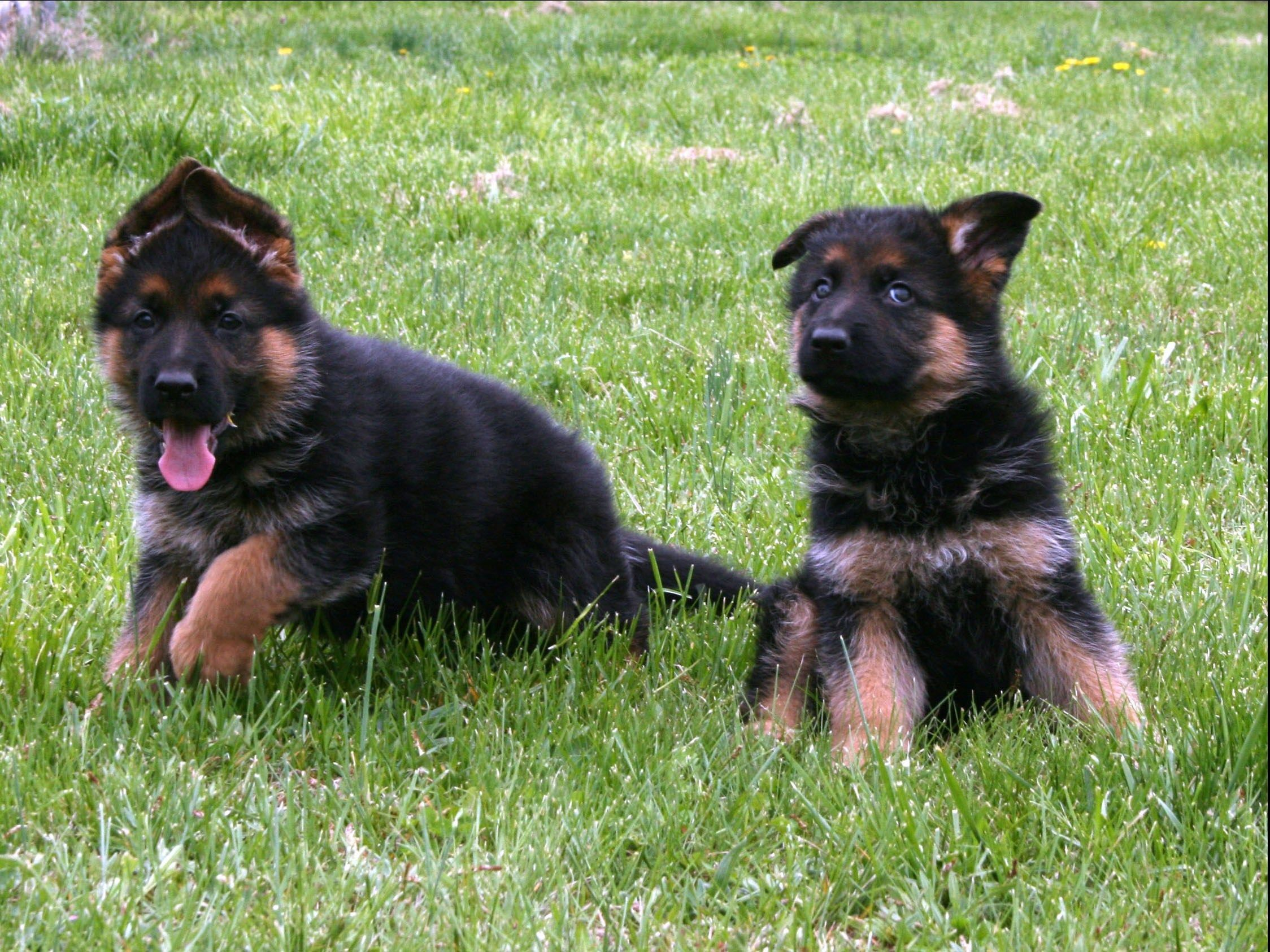 Trained German Shepherd Dogs Have A Significantly Higher Value